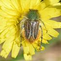 Bumble Bee Scarab Beetle