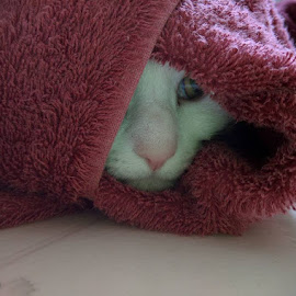 Peek-a-boo by Moe Cusick - Animals - Cats Playing ( playing, cat, peeking, hiding, towel )
