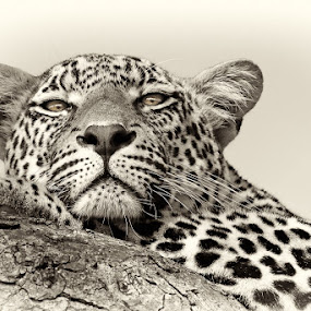 Leopards Bliss by Brendon Cremer - Animals Lions, Tigers & Big Cats ( mammals, sabi sand game reserve, male, south africa, {panthera pardus}, wildlife, country, predators, matimba, gender, [meat eater], africa, greater kruger national park, {carnivore}, leopard, animal )