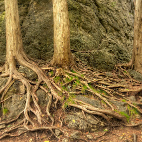 500 year old tree roots by Chris Pepper - Nature Up Close Trees & Bushes