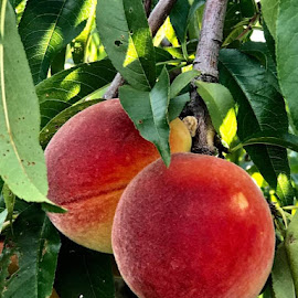 Fruity Peaches by Anna Tripodi - Food & Drink Fruits & Vegetables