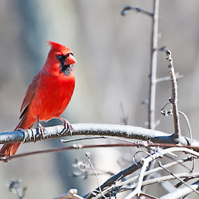 Cardinal by Luc Belisle - Animals Birds ( birds )