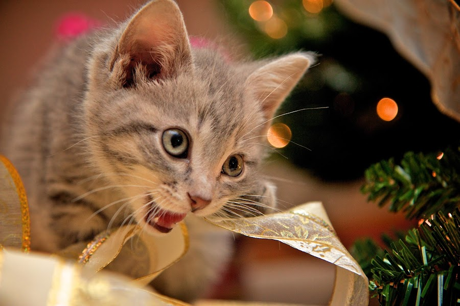 Loves Christmas! by Dustin Wawryk - Animals - Cats Portraits