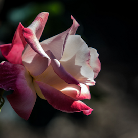 Pink Rose by Keith Sutherland - Flowers Single Flower