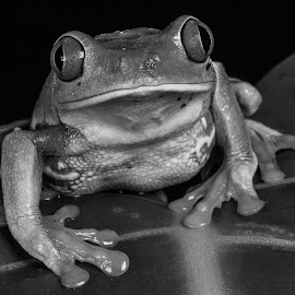 Frog by Garry Chisholm - Black & White Animals ( garry chisholm, nature, black and white, frog, wildlife, reptile )