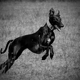 Run by Janaj LaPaine - Animals - Dogs Running ( black and white, natur, run, dog )