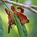 Lagarta-macaco (Monkey slug)