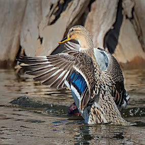 Female Mallard Display by Don Holland - Animals Birds