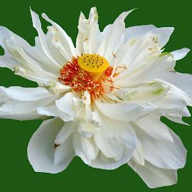 LOTUS by SANGEETA MENA  - Flowers Flowers in the Wild