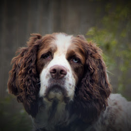 Spaniel by Selene Andreasen - Animals - Dogs Portraits