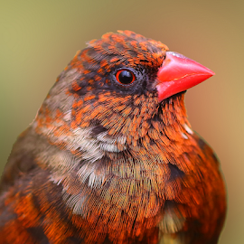 Red avadavat by Nelson Thekkel - Animals Birds (  )