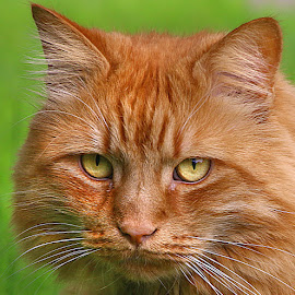 Ginger Frank by Chrissie Barrow - Animals - Cats Portraits ( orange, cat, ginger, green, pet, male, whiskers, ears, yellow, bokeh, nose, portrait, eyes )