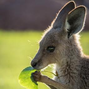 by Robbie Caccaviello - Animals Other Mammals ( joey, animals, kangaroo, pwcbabyanimals, baby, posing )