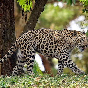 ..:: The Tutul ::.. by Rakhman Matsunaga Stavolt - Animals Other Mammals
