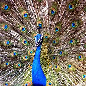 THE PEACOCK..................... by Arunabha Kundu - Animals Birds ( soham, pratiki, arijit, arnab, dipankar )