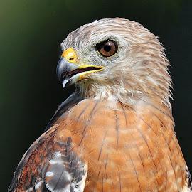 Red Shouldered Hawk by Anthony Goldman - Animals Birds ( tampa, nature, bird, profile, red shouldered, hawk, wild, wildlife,  )