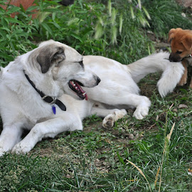 Chew Toy by Marko Ginsberg - Animals - Dogs Playing ( play, puppy, chew toy, dog,  )