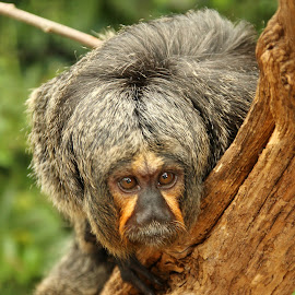 Saki Monkey by Ralph Harvey - Animals Other Mammals ( wildlife, ralph harvey, marwell zoo )