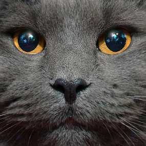 About Those Eyes ! by Corinne Noon - Animals - Cats Portraits ( mirror, face, cat, gray, animal, eyes,  )
