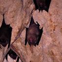 Sorensen's Leaf-nosed Bats