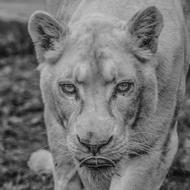 Lioness by Garry Chisholm - Black & White Animals ( lioness, mammal, big cat, lion, garry chisholm )