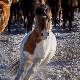 Brreaking away by Mark Prusiecki - Animals Horses ( horse, herd, mongolia, travel, travel photography )