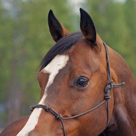 Attention by Giselle Pierce - Animals Horses ( mare, fence, muzzle, blaze face, horses, mane, horse, halter )