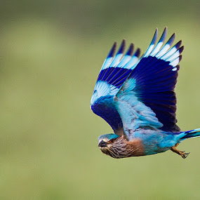 BLUE JAY IN FLIGHT by Mohan Munivenkatappa - Animals Birds
