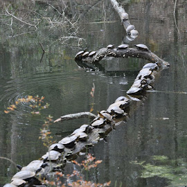 And they all rolled over...🎼 by Julie Sawicki - Animals Reptiles ( water, reptiles, nature, turtles, log )