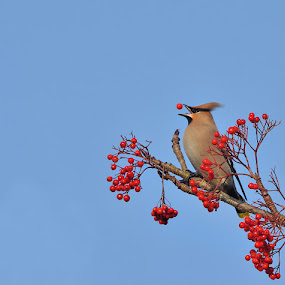 Waxwing by Keith Bannister - Animals Birds