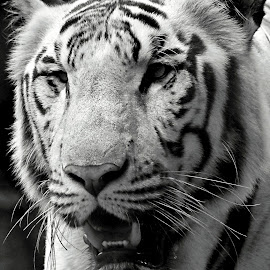 The Indian Tiger by Anthony Soosai Manickam - Animals Lions, Tigers & Big Cats ( tiger, black and white, outdoor, wildlife, animal )