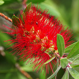 Bottlebrush Tree Flower by Ingrid Anderson-Riley - Flowers Tree Blossoms