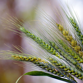 Wheat  by Asif Bora - Nature Up Close Gardens & Produce (  )