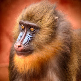 Mandrill - Colorful Monkey by Pete Barnes - Animals Other Mammals ( mandrillus sphinx, face, bright, mandrill, beauty, mammal, eyes, nature, color, ape, fur, primate, africa, nose, monkey, animal )