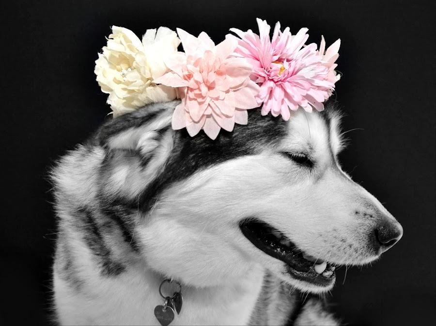 Shy Dog  by Lisa Kirkwood - Animals - Dogs Portraits ( potrait, alaskan malamute, shy, dog, malamute )