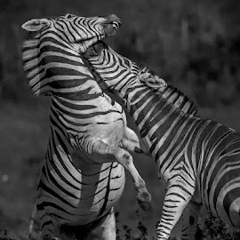 by Nobby Clarke - Animals Other ( nature, outdoors, stare, white, wildlife, striped, zebra, landscape, stripes, standing, kwaga, mammal, animal )