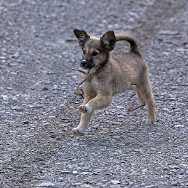Play with me by Krishnan Naganathan - Animals - Dogs Puppies ( pangot, india, puppy, himalayas )