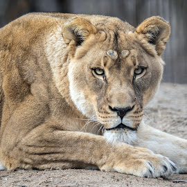 African Lioness by Kathleen Otto - Animals Lions, Tigers & Big Cats