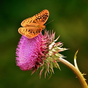 Nodding Thistle by Mark Turnau - Flowers Single Flower ( butterfly, single, colorful, color, flower )