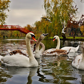 Autumn with swans by Nicu Buculei - Animals Birds ( nature, autumn, swan, lake, birds, city,  )