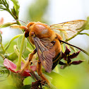 Carpenter bee - Male