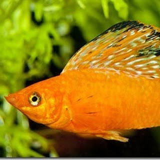 Cách nuôi và sinh sản cho cá cảnh hột lựu đẹp