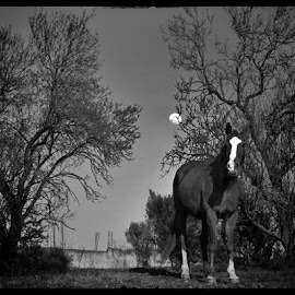 A mare and a moon by Matthew Miller - Animals Horses ( moon, horses, black and white, horse, artistic, trees )