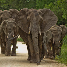 Elephant Family by Steven McGregor - Animals Other Mammals ( elephant family )