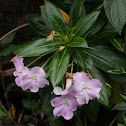 Poor Man's Rhododendron