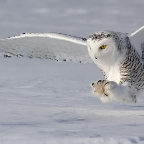 The white hunter by Mircea Costina - Animals Birds ( polar, bird, quebec, canada, scandicus, owl, white, snowy, bubo, birds )