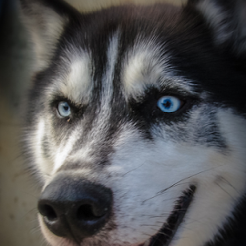 Blue eyes Smiling by Myra Brizendine Wilson - Animals - Dogs Portraits ( canine, dogs, pet, pets, blue eyes, dog, malamute,  )