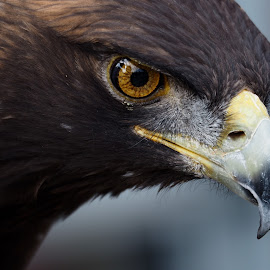 Golden Eagle Portrait by David Gilchrist - Animals Birds ( bird, carnivore, eagle, bird of prey, golden eagle )
