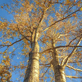 Looking Up by Patricia Phillips - Nature Up Close Trees & Bushes ( trees birch autumn )
