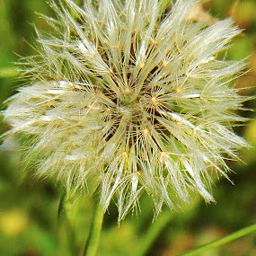 Wild & Free by Alyssa Michlin - Nature Up Close Flowers - 2011-2013 ( nature, dandelion )